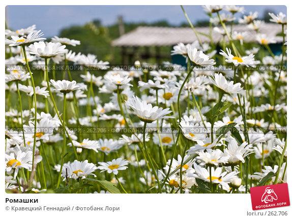 Ромашки, фото № 262706, снято 5 июня 2005 г. (c) Кравецкий Геннадий / Фотобанк Лори