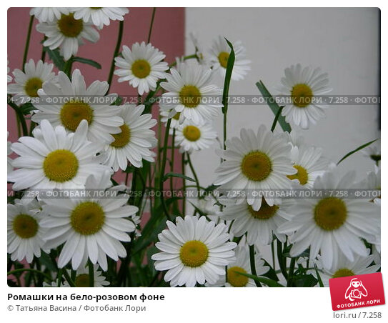 Ромашки на бело-розовом фоне, фото № 7258, снято 12 июня 2006 г. (c) Татьяна Васина / Фотобанк Лори