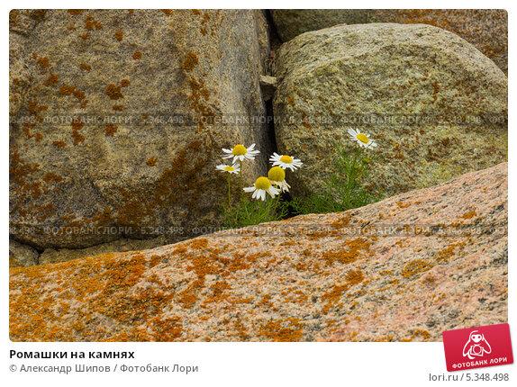 Ромашки на камнях. Стоковое фото, фотограф Александр Шипов / Фотобанк Лори
