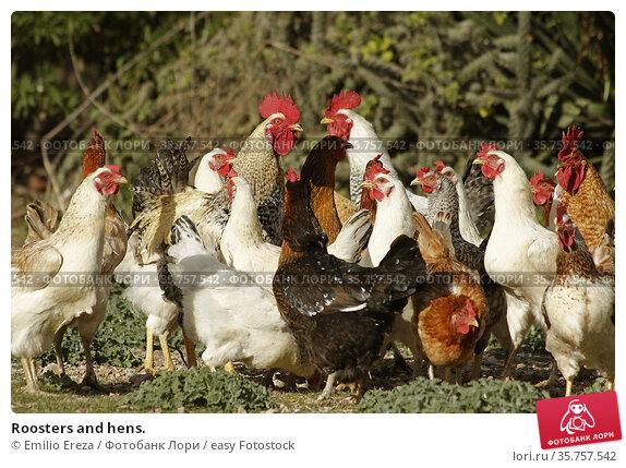 Roosters and hens. Стоковое фото, фотограф Emilio Ereza / easy Fotostock / Фотобанк Лори