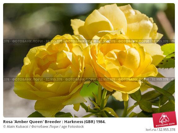 Rosa 'Amber Queen' Breeder : Harkness (GBR) 1984. Стоковое фото, фотограф Alain Kubacsi / age Fotostock / Фотобанк Лори