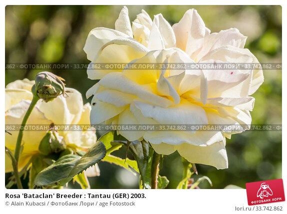 Rosa 'Bataclan' Breeder : Tantau (GER) 2003. Стоковое фото, фотограф Alain Kubacsi / age Fotostock / Фотобанк Лори