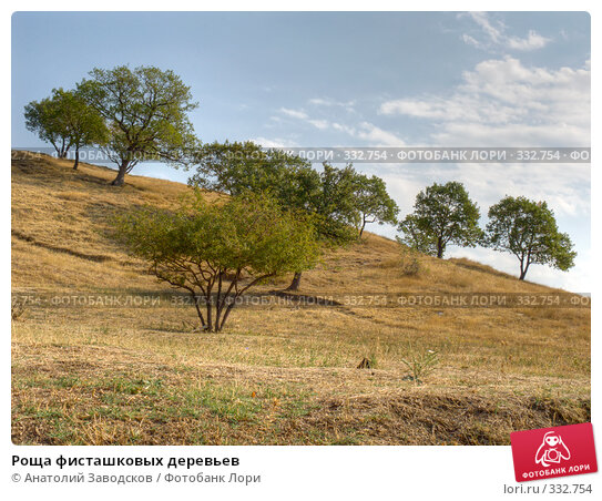 Роща фисташковых деревьев, фото № 332754, снято 26 июля 2017 г. (c) Анатолий Заводсков / Фотобанк Лори