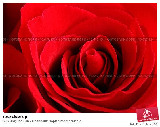 rose close up. Стоковое фото, фотограф Leung Cho Pan / PantherMedia / Фотобанк Лори