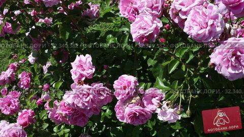 Купить «Rose flowers blooming in spring garden», видеоролик № 32340382, снято 27 мая 2019 г. (c) Яков Филимонов / Фотобанк Лори