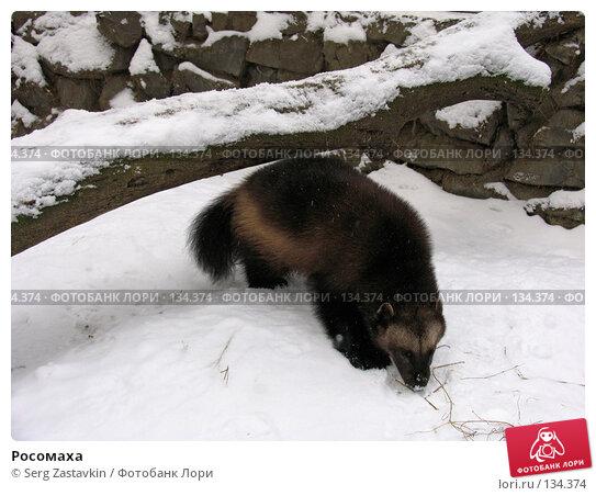 Купить «Росомаха», фото № 134374, снято 7 ноября 2004 г. (c) Serg Zastavkin / Фотобанк Лори