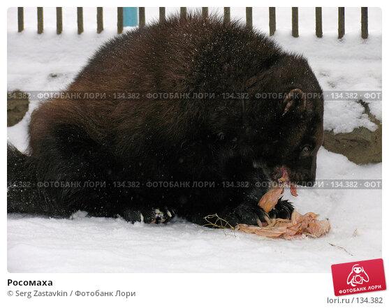 Росомаха, фото № 134382, снято 7 ноября 2004 г. (c) Serg Zastavkin / Фотобанк Лори
