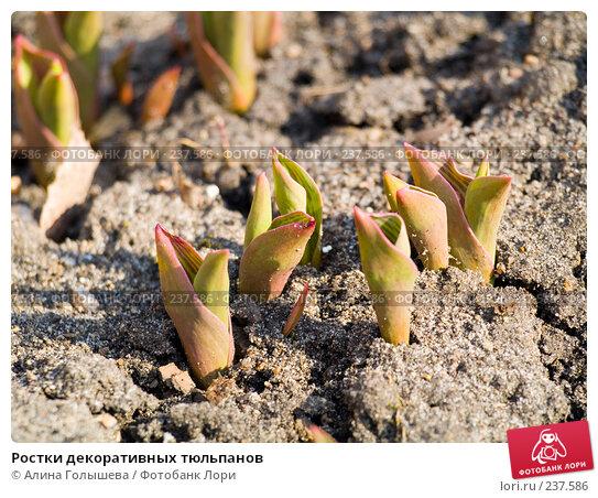 Ростки декоративных тюльпанов, эксклюзивное фото № 237586, снято 24 мая 2017 г. (c) Алина Голышева / Фотобанк Лори