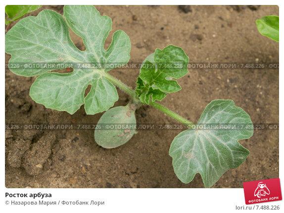 росток арбуза фото
