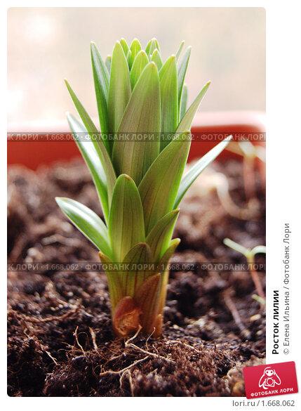 Купить «Росток лилии», фото № 1668062, снято 28 апреля 2010 г. (c) Елена Ильина / Фотобанк Лори