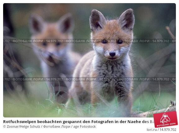 Купить «Rotfuchswelpen beobachten gespannt den Fotografen in der Naehe des Baus - (Rotfuchs - Fuchs) / Red Fox kits observing intently the photographer near the den - (European Red Fox) / Vulpes vulpes», фото № 14979702, снято 2 августа 2019 г. (c) age Fotostock / Фотобанк Лори
