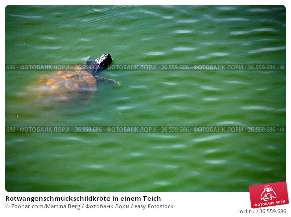 Rotwangenschmuckschildkröte in einem Teich. Стоковое фото, фотограф Zoonar.com/Martina Berg / easy Fotostock / Фотобанк Лори