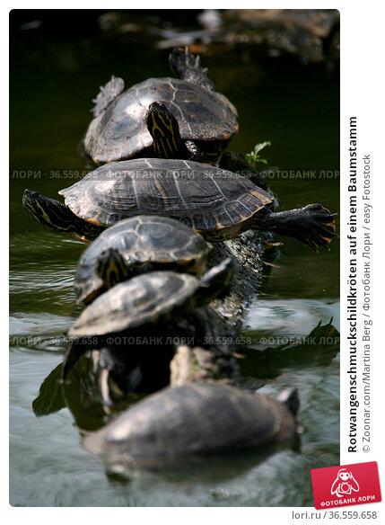 Rotwangenschmuckschildkröten auf einem Baumstamm. Стоковое фото, фотограф Zoonar.com/Martina Berg / easy Fotostock / Фотобанк Лори