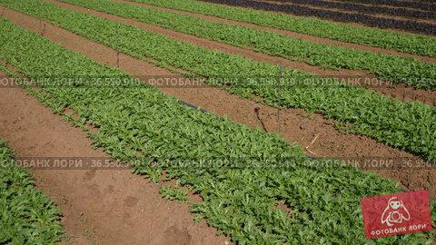 Rows of arugula plants growing on farm land at sunny day. Стоковое видео, видеограф Яков Филимонов / Фотобанк Лори