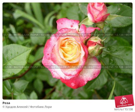 Роза, фото № 13138, снято 2 июля 2005 г. (c) Удодов Алексей / Фотобанк Лори