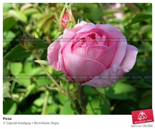 Роза, фото № 26050, снято 8 июля 2006 г. (c) Сергей Ксейдор / Фотобанк Лори