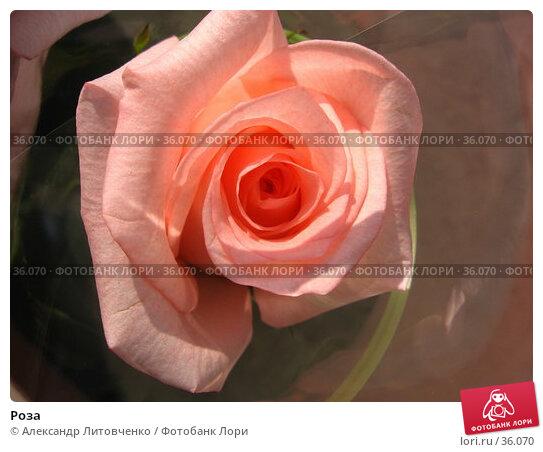 Роза, фото № 36070, снято 27 июня 2017 г. (c) Александр Литовченко / Фотобанк Лори