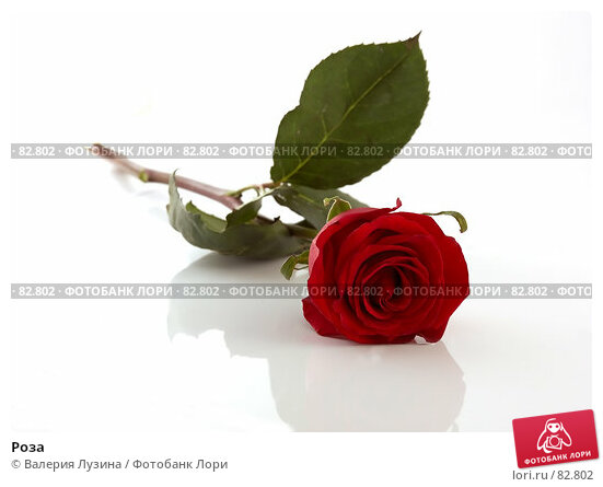 Купить «Роза», фото № 82802, снято 28 августа 2007 г. (c) Валерия Потапова / Фотобанк Лори