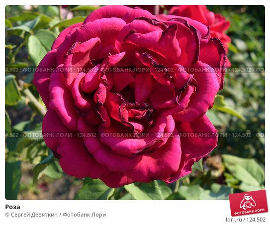 Купить «Роза», фото № 124502, снято 19 августа 2007 г. (c) Сергей Девяткин / Фотобанк Лори