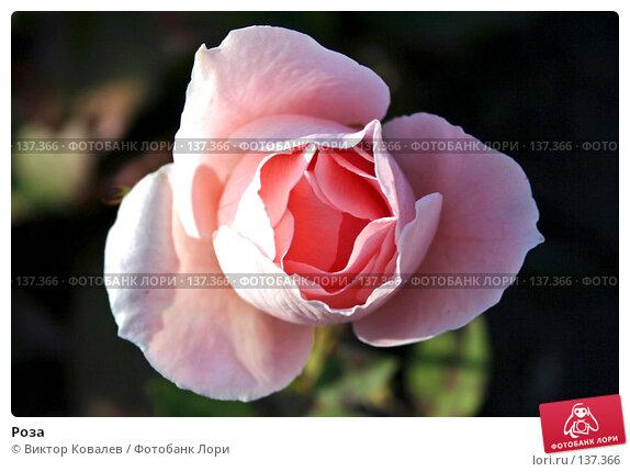 Роза, фото № 137366, снято 29 сентября 2007 г. (c) Виктор Ковалев / Фотобанк Лори