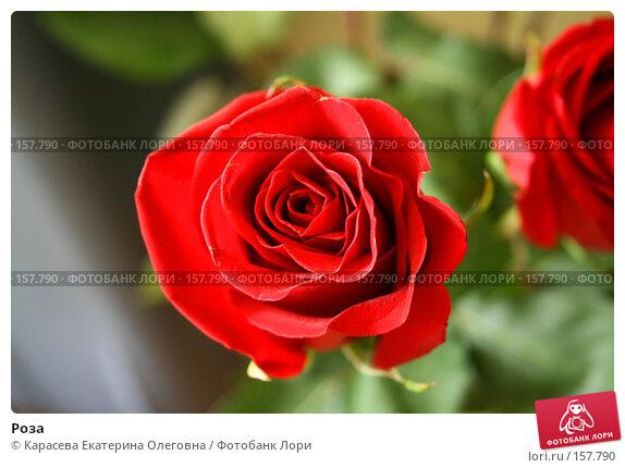 Роза, фото № 157790, снято 22 октября 2016 г. (c) Карасева Екатерина Олеговна / Фотобанк Лори