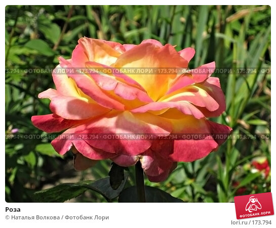 Роза, фото № 173794, снято 20 июля 2007 г. (c) Наталья Волкова / Фотобанк Лори