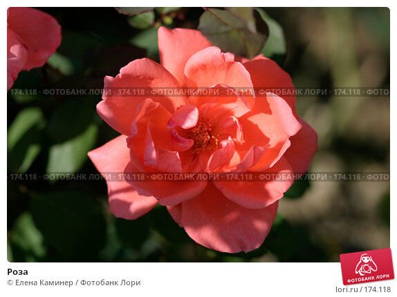 Роза, фото № 174118, снято 26 сентября 2007 г. (c) Елена Каминер / Фотобанк Лори