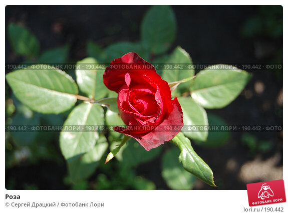 Роза, фото № 190442, снято 17 августа 2007 г. (c) Сергей Драцкий / Фотобанк Лори