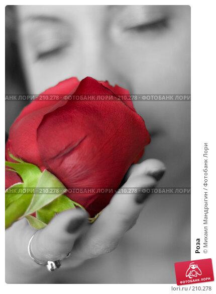 Купить «Роза», фото № 210278, снято 19 февраля 2008 г. (c) Михаил Мандрыгин / Фотобанк Лори