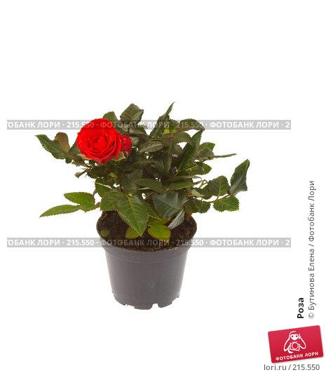 Купить «Роза», фото № 215550, снято 6 марта 2008 г. (c) Бутинова Елена / Фотобанк Лори