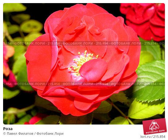 Роза, фото № 215854, снято 15 июля 2007 г. (c) Павел Филатов / Фотобанк Лори