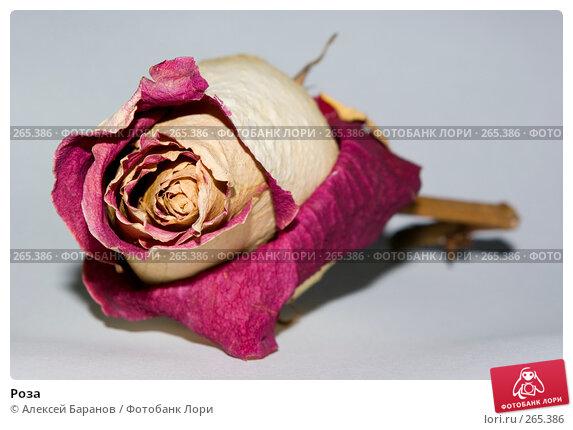 Роза, фото № 265386, снято 22 апреля 2008 г. (c) Алексей Баранов / Фотобанк Лори
