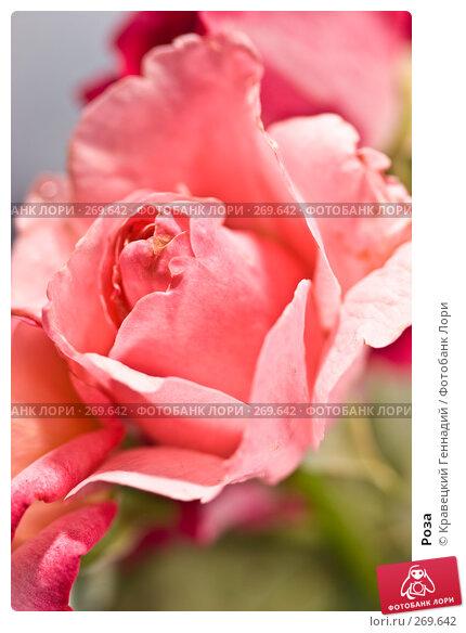 Роза, фото № 269642, снято 3 августа 2005 г. (c) Кравецкий Геннадий / Фотобанк Лори