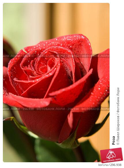 Роза, эксклюзивное фото № 296938, снято 17 мая 2008 г. (c) Павел Широков / Фотобанк Лори