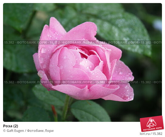 Купить «Роза (2)», фото № 15382, снято 13 июля 2006 г. (c) Gaft Eugen / Фотобанк Лори