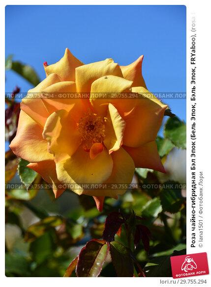Купить «Роза чайно-гибридная Бэл Эпок (Бель Эпок, Бэль Эпок, FRYaboo), (rosa Belle Epoque). Fryer's Roses, Britain 1994», эксклюзивное фото № 29755294, снято 21 августа 2015 г. (c) lana1501 / Фотобанк Лори