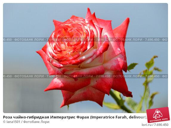 Купить «Роза чайно-гибридная Императрис Фарах (Imperatrice Farah, delivour), Delbard», эксклюзивное фото № 7690450, снято 15 июля 2015 г. (c) lana1501 / Фотобанк Лори
