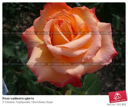 Роза чайного цвета, фото № 161902, снято 22 июня 2005 г. (c) Галина  Горбунова / Фотобанк Лори