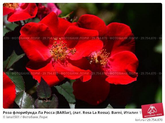 Купить «Роза флорибунда Ла Росса (BARlar), (лат. Rosa La Rossa). Barni, Италия 1998», эксклюзивное фото № 29754870, снято 4 августа 2015 г. (c) lana1501 / Фотобанк Лори
