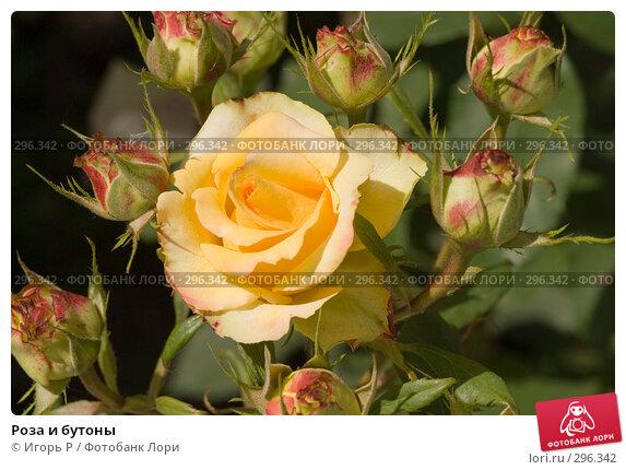 Роза и бутоны, фото № 296342, снято 23 мая 2008 г. (c) Игорь Р / Фотобанк Лори