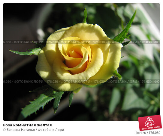 Роза комнатная желтая, фото № 176030, снято 5 мая 2007 г. (c) Беляева Наталья / Фотобанк Лори