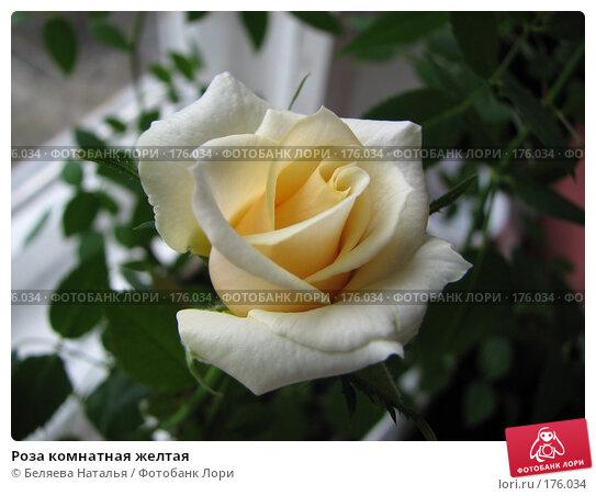 Роза комнатная желтая, фото № 176034, снято 13 мая 2007 г. (c) Беляева Наталья / Фотобанк Лори