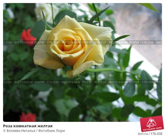 Роза комнатная желтая, фото № 176038, снято 25 марта 2007 г. (c) Беляева Наталья / Фотобанк Лори