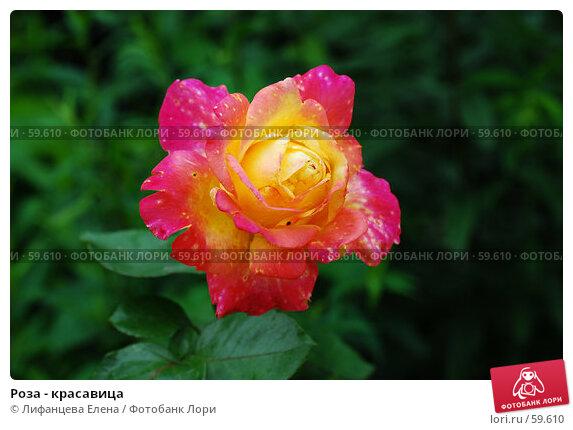 Роза - красавица, фото № 59610, снято 23 октября 2016 г. (c) Лифанцева Елена / Фотобанк Лори