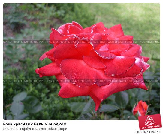 Роза красная с белым ободком, фото № 175182, снято 22 июня 2005 г. (c) Галина  Горбунова / Фотобанк Лори