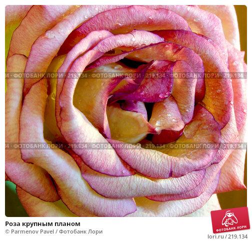 Роза крупным планом, фото № 219134, снято 6 марта 2008 г. (c) Parmenov Pavel / Фотобанк Лори