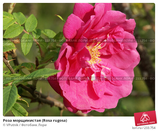 Купить «Роза морщинистая (Rosa rugosa)», фото № 233754, снято 24 июля 2004 г. (c) VPutnik / Фотобанк Лори
