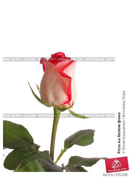 Роза на белом фоне, фото № 316238, снято 16 марта 2008 г. (c) Юлия Кашкарова / Фотобанк Лори