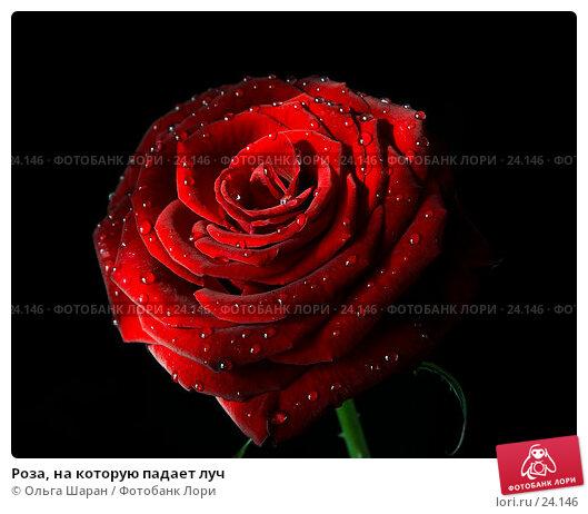 Роза, на которую падает луч, фото № 24146, снято 23 февраля 2007 г. (c) Ольга Шаран / Фотобанк Лори
