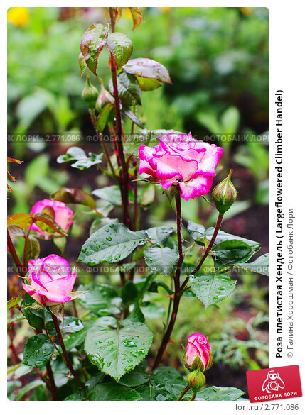 роза climber фото